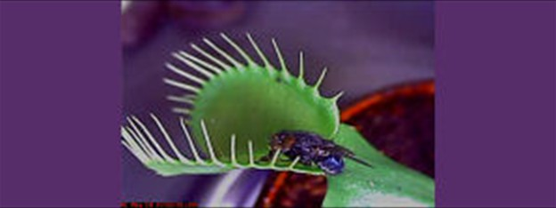 Make Science Videos - Venus Fly Trap about to Dine on a Fly